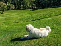 Netter weißer Pelzhund, der auf einem Golfplatz in einem alpinen Valle sitzt lizenzfreie stockbilder