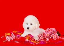 Netter weißer Welpe mit rosa Blumen auf einem roten Hintergrund Schöner flaumiger und gelockter Hund Stockbilder