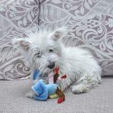 netter weißer Terrier des Welpenwesthochlands, der mit Spielzeug auf dem Bett spielt stockfoto