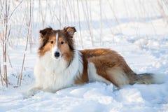 Netter Collie liegt im Schnee lizenzfreies stockfoto