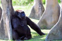 Netter weiblicher Tiefland-Gorilla Lizenzfreies Stockfoto