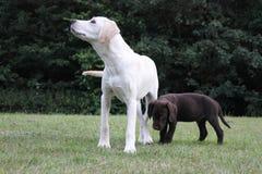 Netter Welpe Browns und Labrador-Welpe Stockbild