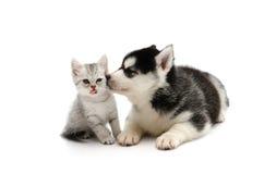 Netter Welpe, der nettes Kätzchen der getigerten Katze auf weißem Hintergrund küsst Lizenzfreie Stockbilder