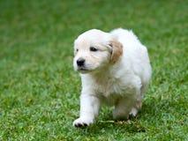 Netter Welpe des goldenen Apportierhunds stockfoto