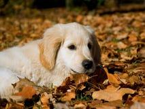 Netter Welpe des goldenen Apportierhunds, der auf Herbstblättern liegt Stockbilder