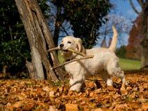 Netter Welpe des goldenen Apportierhunds mit Steuerknüppel Lizenzfreie Stockfotografie