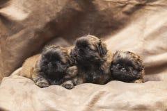 Netter Welpe des Pekinesen Hunde Stockfotografie