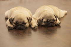 Netter Welpe des Pug Hunde Lizenzfreie Stockfotografie