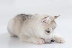 Netter Welpe des sibirischen Huskys Lizenzfreies Stockbild