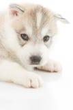 Netter Welpe des sibirischen Huskys Lizenzfreie Stockfotos