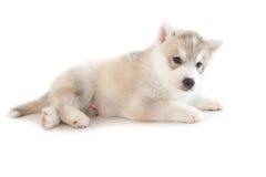 Netter Welpe des sibirischen Huskys Lizenzfreie Stockfotografie