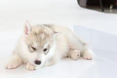 Netter Welpe des sibirischen Huskys Stockbild