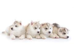 Netter Welpe des sibirischen Huskys Lizenzfreie Stockbilder