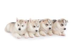 Netter Welpe des sibirischen Huskys Stockfotografie