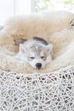 Netter Welpe des sibirischen Huskys Lizenzfreies Stockfoto