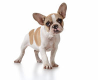 Netter Welpen-Hund mit dem Kopf gekippt Lizenzfreies Stockfoto
