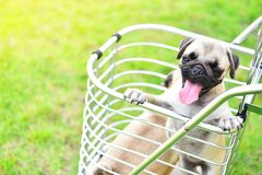 Netter Welpen Pug in Einkaufslkw stockfotos