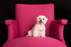 Netter West Highland White Terrier, der auf rosa Lehnsessel sitzt lizenzfreies stockbild