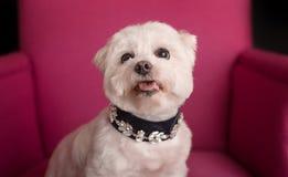 Netter West Highland White Terrier, der auf rosa Lehnsessel sitzt stockbilder