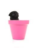 Netter 6 Wochen alter schwarzer Pugwelpe in einem rosa Blumentopf lokalisierte O Lizenzfreie Stockfotografie