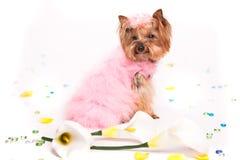 Netter Yorkshire-Terrier im rosafarbenen Pelzkostüm Stockfotos