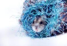 Netter zwergartiger Hamster Lizenzfreies Stockfoto