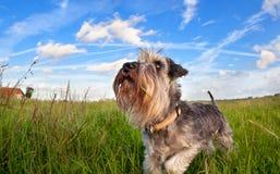 Netter Zwergschnauzer auf grünem Gras über blauem Himmel Lizenzfreie Stockfotos