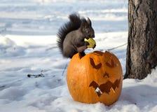 Nettes östliches graues squirrell, das auf dem Halloween-Kürbis sitzt Stockfoto