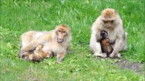 Nettes Affe sylvana mit ihren Babys stock video footage