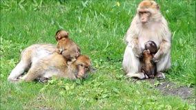 Nettes Affe sylvana mit ihren Babys stock footage