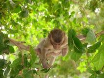 Nettes Affejunges, das an einem Baumast hängt Stockfotos