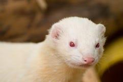 Nettes Albino-Frettchen Stockfotos