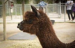 Nettes Alpaka, braunes Lama, S?ugetier Alpaka im Zoo stockfotografie