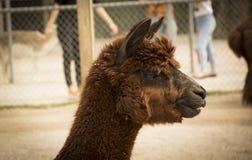 Nettes Alpaka, braunes Lama, S?ugetier Alpaka im Zoo lizenzfreie stockfotos