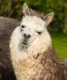 Nettes Alpakaporträt, das Kamera mit Laterne- und Beigefarben betrachtet Lizenzfreie Stockfotos