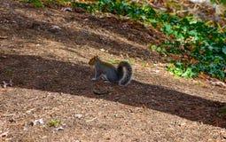 Nettes amerikanisches Eichhörnchen im Herbst Eichel essend Lizenzfreies Stockbild
