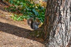 Nettes amerikanisches Eichhörnchen im Herbst Eichel essend Lizenzfreie Stockbilder