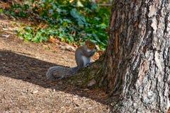 Nettes amerikanisches Eichhörnchen im Herbst Eichel essend Lizenzfreie Stockfotografie
