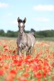 Arabisches Fohlen, das in rotes Mohnblumenfeld läuft Lizenzfreies Stockfoto