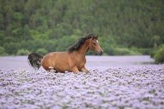 Nettes arabisches Pferd, das in fiddleneck Feld läuft Stockbild