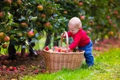 Nettes Baby, das frische Äpfel vom Baum auswählt Stockfotos