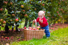 Nettes Baby, das frische Äpfel vom Baum auswählt Stockfoto