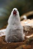 Nettes Baby des Schwarzbrauenalbatros, Thalassarche-melanophris, sitzend auf Lehmnest auf Falkland Islands Junger Vogel in den ne Lizenzfreies Stockbild