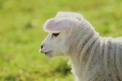 Nettes Baby-Lamm Stockfotos