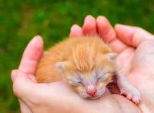 Nettes Babykatzen-Abschlussfoto Reizende Miezekatze, die in den Händen schläft Stockfoto