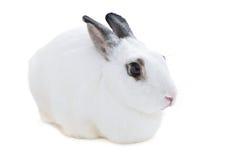 Nettes beschmutztes weißes Kaninchen auf weißem Isolat Stockfoto