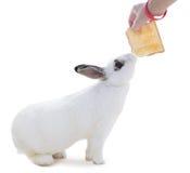 Nettes beschmutztes weißes Kaninchen auf weißem Isolat Dieses versuchen flufly zum Sn Lizenzfreie Stockfotografie