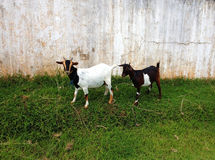 Nettes blanck zwei und weiße Ziegen auf einem Bauernhof Stockfotos
