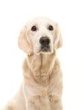 Nettes blondes erwachsenes golden retriever-Porträt Stockfotografie
