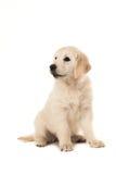 Nettes blondes golden retriever-Welpensitzen Lizenzfreie Stockbilder